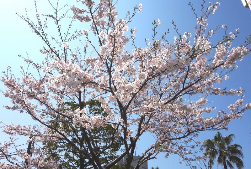 No.289 プリズムの桜が見ごろを迎えました!